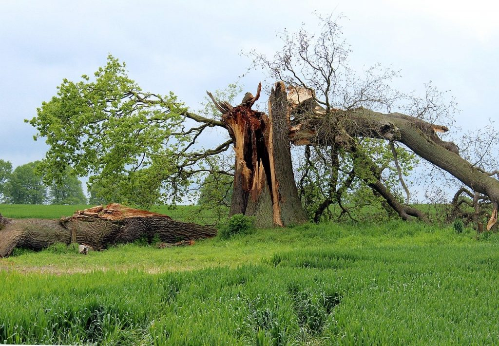 Storm damage makes trees fall