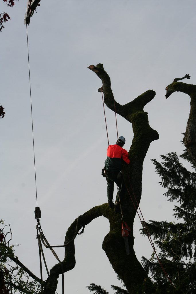 Arborist is helping remove the tree branches